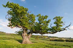 English Oak Royalty Free Stock Image