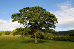 English Oak. Large old English Oak tree in the middle of field with a blue sky Royalty Free Stock Photo