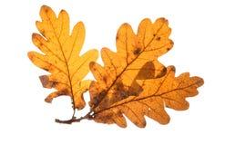English Oak Leaves. A trio of English Oak leaves royalty free stock photos