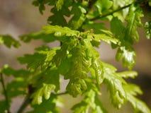 English oak Royalty Free Stock Photography