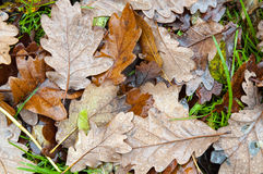 English Oak Leaves in Autumn Royalty Free Stock Photos