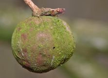 The English Oak or Pedunculate Oak Quercus. There are various types of gall and they are caused by a gall wasp that lays its eggs inside the acorn, causing it Stock Photography