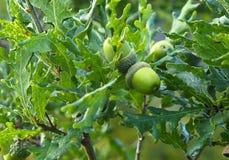 English Oak Or Quercus Robur With Acorn. English oak or Quercus robur tree with green acorns Stock Image