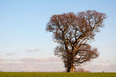 English oak stands strong in winter. Lone oak in english winter countryside royalty free stock photos