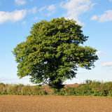 English Oak Tree. Tranquil Scene of an Oak Tree in Full Leaf Standing on Ploughed Farmland against a Beautiful Blue Sky Royalty Free Stock Photo