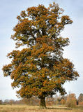 English Oak Tree. An isolated Oak Tree in its Autumn Colours in an Rural Park in England Royalty Free Stock Photos