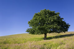 English Oak Tree. Single oak tree in barren landscape with clear blue sky Stock Photos