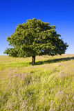 English Oak Tree. Single oak tree in barren landscape with clear blue sky Stock Photo