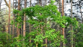 English oak tree in a forest with vibrant green foliage stock video footage
