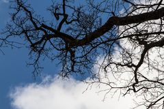`This oak is only 300 years old. Spring, I will live on. English oak tree without leaves. Tree branches and trunk looks into the blue sky. Oak is widely known royalty free stock photography