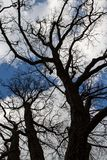 `This oak is only 300 years old. Spring, I will live on. English oak tree without leaves. Tree branches and trunk looks into the blue sky. Oak is widely known stock images