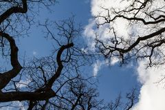 `This oak is only 300 years old. Spring, I will live on. English oak tree without leaves. Tree branches and trunk looks into the blue sky. Oak is widely known royalty free stock images
