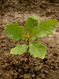 English oak tree sapling Royalty Free Stock Photo