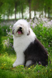 English old sheep dog. A beautiful English old sheep dog look at the camera Royalty Free Stock Photography