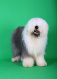 English old sheepdog. A english old sheepdog in front of green background Royalty Free Stock Photo