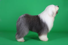 English old sheepdog. A english old sheepdog in front of green background Stock Photos