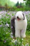 English old sheepdog. A beautiful english old sheepdog,outdoors Stock Photography