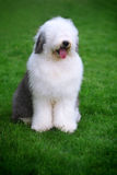 English old sheepdog stock photo