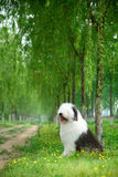 English old sheepdog. A beautiful english old sheepdog,outdoors Royalty Free Stock Photography