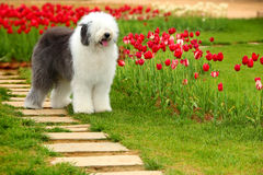 Free English Old Sheepdog Royalty Free Stock Photo - 5146605