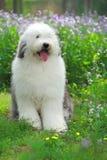 English old sheepdog Stock Photography