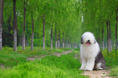 English old sheepdog. A beautiful english old sheepdog,outdoors Stock Images