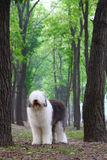 English old sheepdog Royalty Free Stock Image