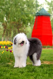 English old sheepdog Stock Image