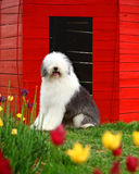 English old sheepdog Royalty Free Stock Photos