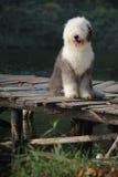 English old sheepdog Royalty Free Stock Image