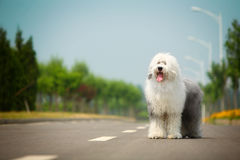 English old sheepdog Royalty Free Stock Photography