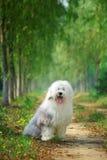 English old sheepdog. A beautiful english old sheepdog,outdoors Stock Photo