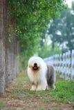 English old sheepdog Royalty Free Stock Photos