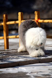 English old sheepdog. A beautiful english old sheepdog in the snow Royalty Free Stock Photography
