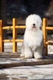 English old sheepdog Royalty Free Stock Photography