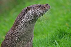 An English otter looking alert royalty free stock images