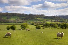 English pasture with grazing sheep Royalty Free Stock Images