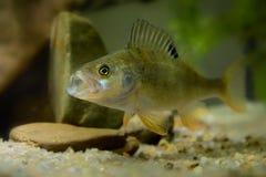English Perch (Perca fluviatilis) Stock Image