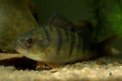 English Perch (Perca fluviatilis) Stock Photography