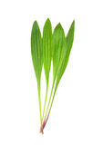 English plantain (Plantago lanceolata) Stock Photography