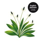 English plantain. Plantago lanceolata. Royalty Free Stock Photography