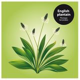 English plantain. Plantago lanceolata. Stock Photos