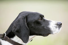 English Pointer. Gun dog waiting at a field trial Stock Photography