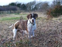 English pointer. Handsome hunting english pointer portrait Royalty Free Stock Image