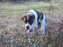 English Pointer Royalty Free Stock Photo