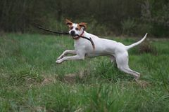 English Pointer Royalty Free Stock Photography
