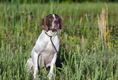 English Pointer bird dog. Female brown and white English Pointer gun dog. Walton County Animal Control Shelter photography, humane society, outdoor pet Royalty Free Stock Photos