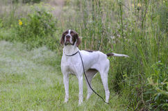 English Pointer bird dog. Female brown and white English Pointer gun dog. Walton County Animal Control Shelter photography, humane society, outdoor pet Stock Image