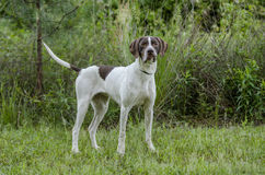 English Pointer bird dog Stock Images