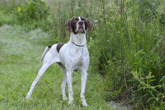 English Pointer bird dog Stock Photos